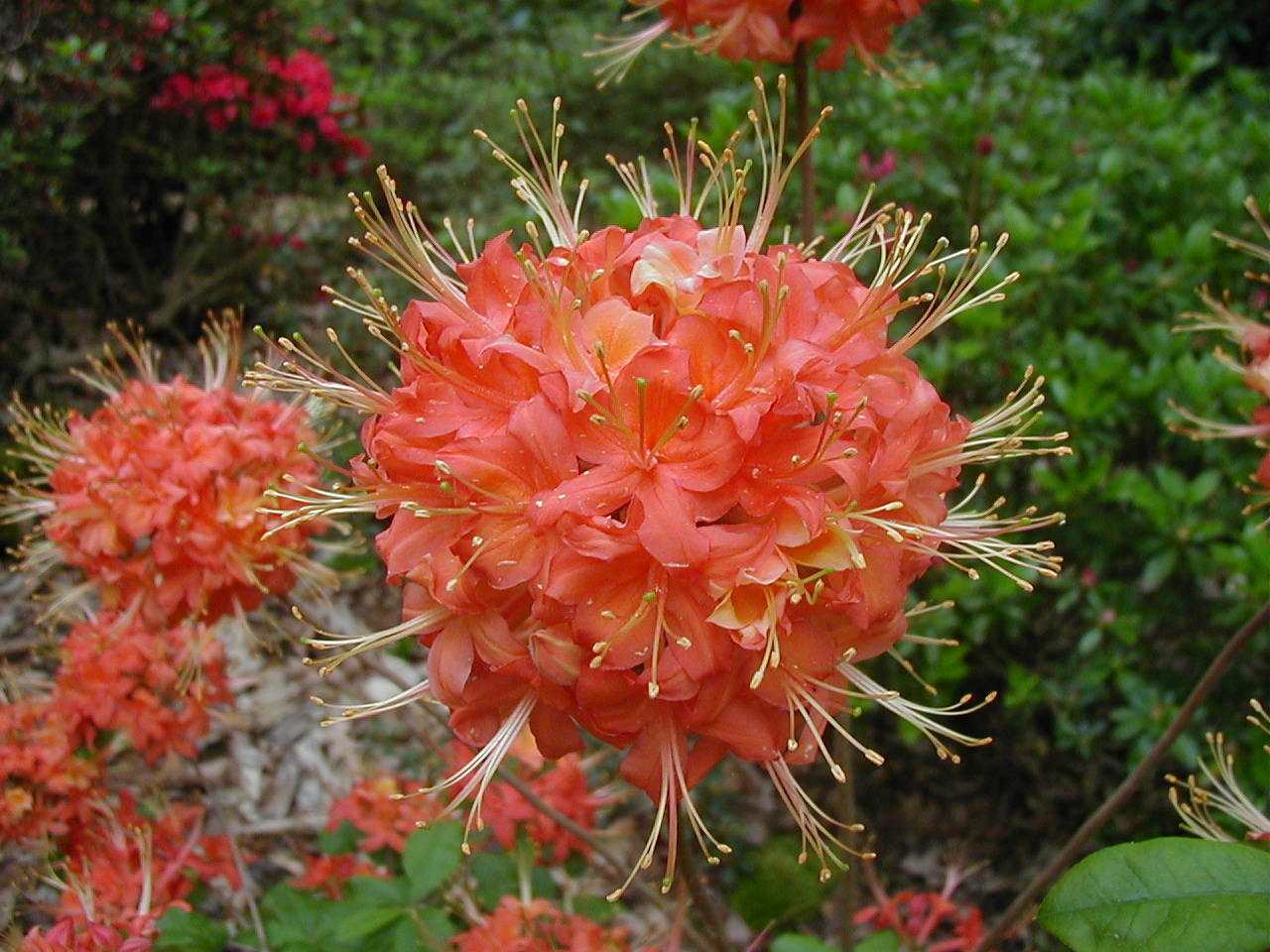 (1 Gallon)     pack of 4 plants of Native RHODODENDRONs, mix and match any 4 Rhoadies(email your choice)