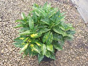 ACUBA GOLD DUST- BRIGHT GREEN FOLIAGE SPECKLED WITH GOLD, GIVING THE APPEARANCE OF YELLOW GREEN FOLIAGE. PIXIES_DUD