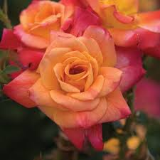 (3 Gallon Pot)   Climbing Joseph's Coat (Rosa) Joseph's Coat is a climbing  rose with blooms and changes from orange to yellow/red to solid red over time. Large, double, and lightly fragrant, they are terrific for garden or vase.