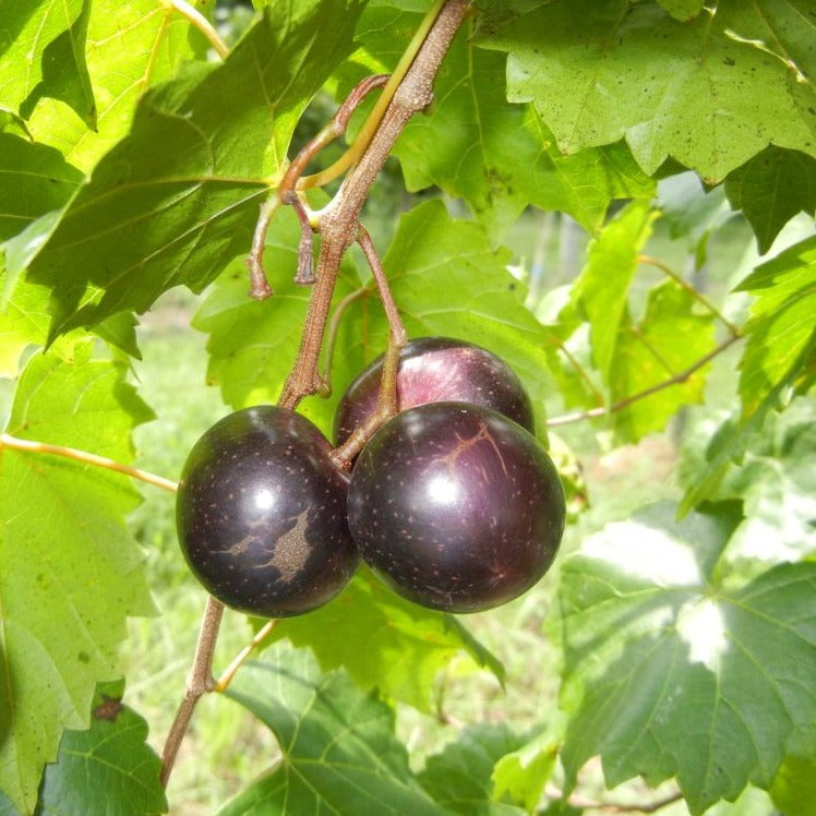 JUMBO Muscadine Grape Vine, Black fruits are very large in size. One of the largest Black Muscadines. High yields, good flavor.