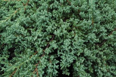 (25 plants classic pint)   Juniperus procumbens 'Nana' Dwarf Japanese Garden Juniper  is a trailing, low growing evergreen shrub. Blue-green foliage, needle like leaves densely cover branches. Good groundcover.  - Set of 25  plants shipped in Classic Pint