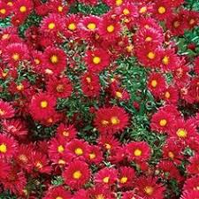 (1 Gallon) Aster Kickin'® Carmine Red PPAF - It is a compact selection with single, vibrant, carmine-red blossoms, each with a tiny bright-yellow button eye.