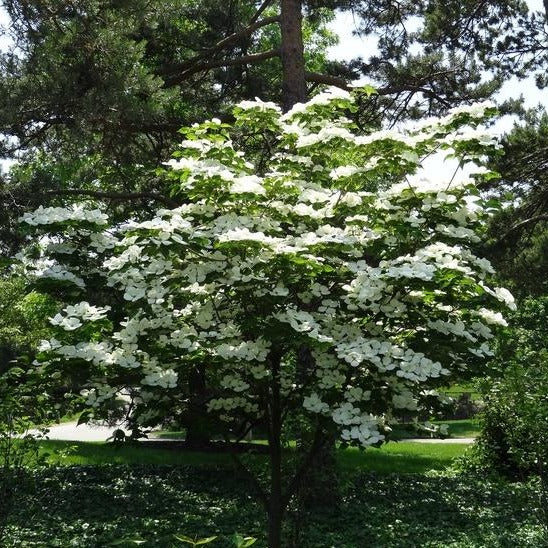 KOUSA DOGWOOD Tree - Small tree, Beautiful white blooms in Spring. Fall green leaves turn a vibrant red/burgundy.