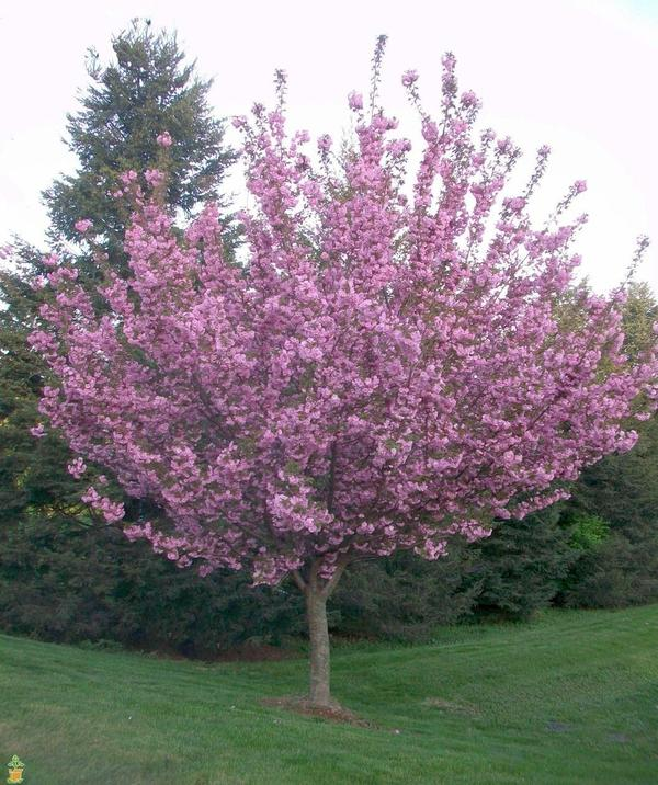 Kwanzan Cherry Tree- Standout Tree, Pink Fragrant Blossoms (Cherry Blossom Festivals)