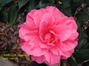 (3 Gallon)    Camellia LADY LAURA, pink blooms with unique pink stripes (FALL/WINTER BLOOMS