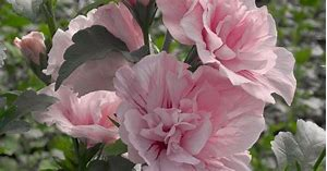 Lady Stanley Althea, gorgeous double pinkish white blooms with delicate purple veins. (Rose of Sharon)