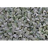 (10 Count Tray of 1 Quart Pots) 'Silver Carpet' Lamb's Ear (Groundcover) Velvety Soft, Silver Leaves Form a Rapidly Spreading Mat, Rarely Flowers