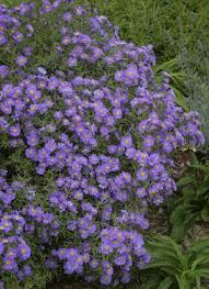 (1 Gallon) Aster Kickin'® Lavender - This is a compact selection with single, soft lavender blossoms, each with a tiny golden button eye.