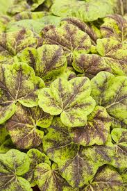 (1 Gallon) Heucherella Fun and Games® Eye Spy PPAF Foamy Bells Proven Winners® - Heucherella are traditionally grown for their foliage; 'Eye Spy' bucks that trend by also having spectacular flowering performance, bubblegum pink flowers appear in spring