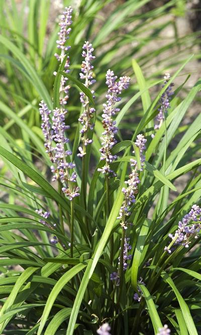 Liriope muscari 'Big Blue' Big Blue Lily Turf,  blooms with lavender flower spikes mid-Summer followed by near black berries. Perfect for erosion control on banks.