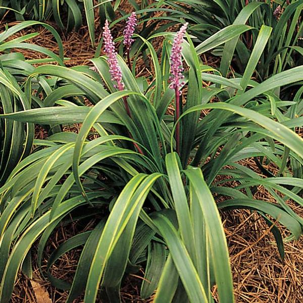 Liriope muscari 'Gold Band' Gold Band Lily Turf has variegated leaf blades, green with gold borders. Blooms with dense, lavender flower spikes mid-Summer.