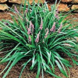 Liriope muscari Samantha Lily Turf has wide, green leaf blades and blooms with pink flower spikes mid-Summer.