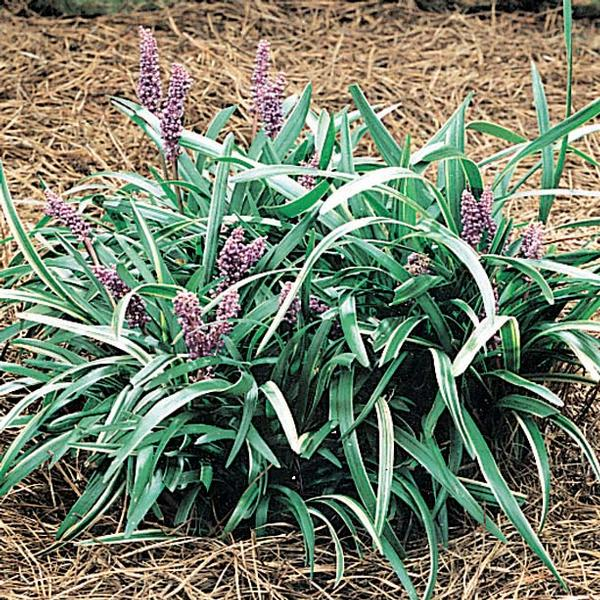 Liriope Muscari 'Silver Midget' Silver Midget Lily Turf. Variegated leaf blades, green with Yellowish to white margins. PIXIES_DUD