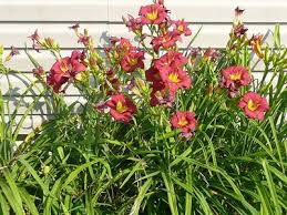 (1 Gallon) Hemerocallis Little Business Daylily - This Daylilly is a gorgeous bright raspberry- red flower with a lime- green stem. PIXIESDS_EGN