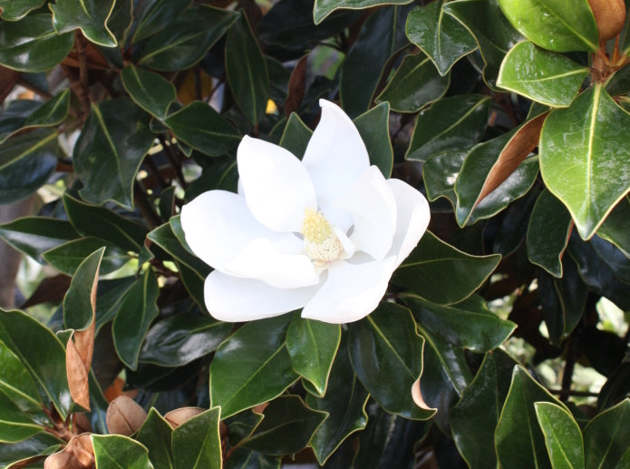 LITTLE GEM DWARF Magnolia, elegance and beauty, HUGE Fragrant White Flowers,BLOOMS FOR LONG TIME, good for smaller places