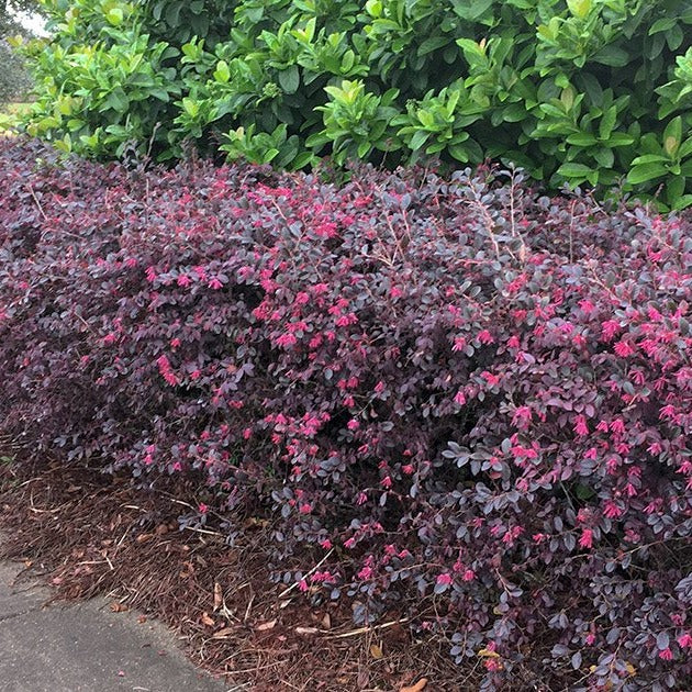 Daruma Loropetalum - dwarf, compact shrub with gorgeous burgundy foliage