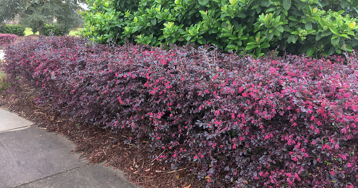 Sparkling Sangria LOROPETALUM - Large, Shrub with Gorgeous, Rich, Maroon Foliage Year Round, Electric Pink Flowers Bloom in Spring. Great Privacy Hedge.