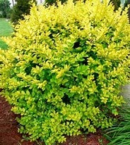 (1 Gallon) Golden vicary privet or golden ligustrum, is a perennial shrub that is commonly used in hedge and privacy screen plantings and as an accent plant in home landscapes.