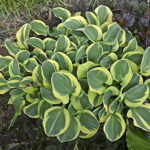 "4.33"" Pot/10 Count Flat: Hosta 'Mighty Mouse'. miniature hosta. Variegated sport of 'Blue Mouse Ears' features rounded, blue-green leaves with creamy yellow margins. Produces lavender flowers on 12"" scapes in early summer. PIXIESDS_EGN"