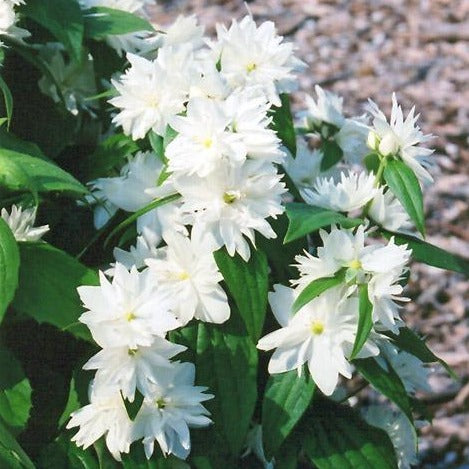 Minnesota Snowflake Dwarf Mock Orange- Dwarf flowering shrub with a natural vase shape. Wonderfully fragrant double flowers, super compact size