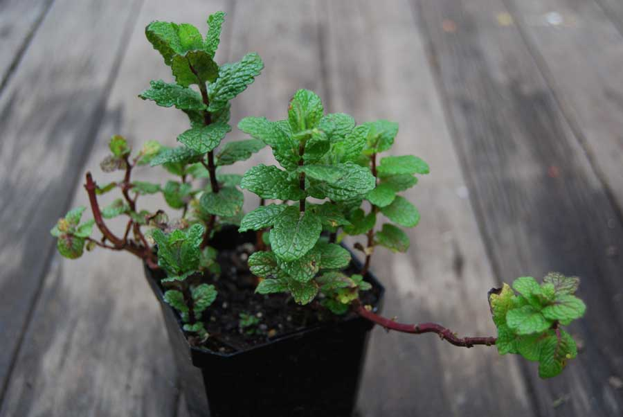 (10 count flat  quart pots) Herb: Mint, Peppermint, Scented leaves with tiny lavender flowers. Good in borders or large containers. Prefers loamy