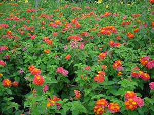 "4""Round Pot/10 Count Flat: Lantana camara 'Miss Huff'. Showy orange and pink flowers spring to frost, mounding habit, cut back only in spring after new growth appears. PIXIESDS_EGN"