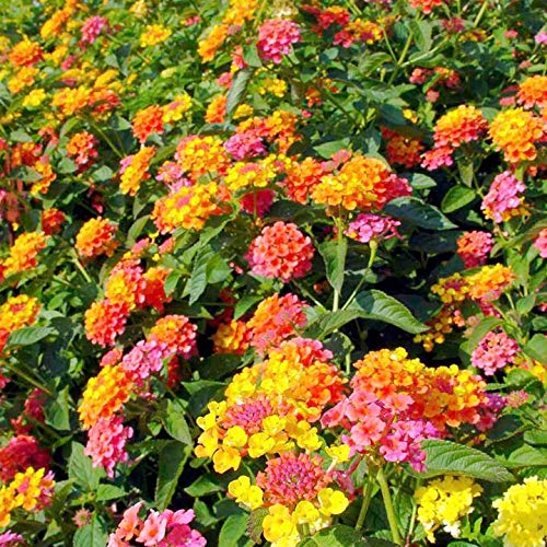 Lantana Miss Huff-Showy orange and pink flowers, spring to frost, mounding habit.