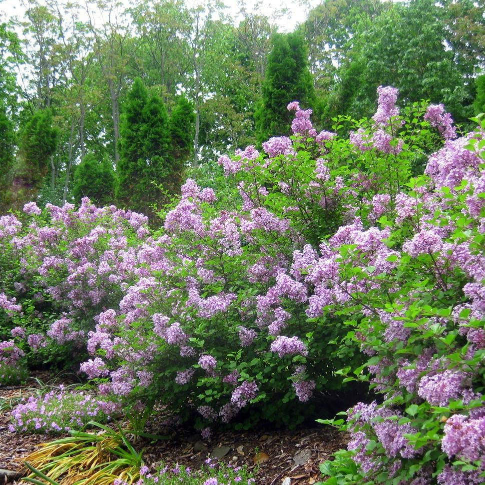 MISS KIM LILAC-COMPACT SHRUB WITH LAVENDER TO BLUE, SWEETLY FRAGRANT SINGLE FLOWERS IN DENSE CLUSTERS IN MAY AND JUNE