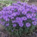 1 Gallon Pot: Monarda Sugar Buzz® 'Blue Moon' Bee Balm PPAF. Fragrant, lavender blue flowers held by purple bracts. Dark green foliage forms an upright clump. Mildew resistant and heat tolerant.