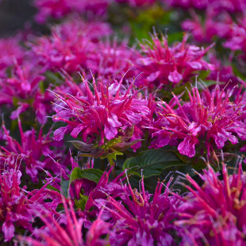 (1 Gallon) Monarda didyma Pardon My Cerise PPAF Beebalm - The Pardon My Cerise Variety is Sweet and Petite Perennial with Dark Cherry Pink Flowers that Blooms in High summer.