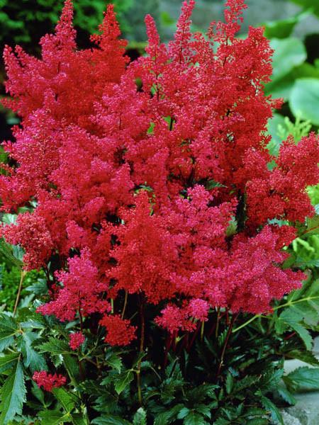 (1 GALLON) Montgomery Astilbe-Huge plumes of dark magenta red flowers in summer,