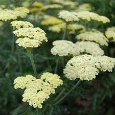 Quart Pot/10 Count Flat: Achillea 'Novaachdus' Moondust(TM) PP25838 Yarrow. Compact, mounding, with soft yellow flower clusters. Low maintenance, once established. Blooms May-September.
