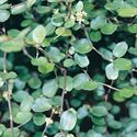 "(4.5"" Pot/10 count flat) Muehlenbeckia axillaris Creeping Wirevine. Spreading, evergreen, small rounded leaves with glossy green finish, green flowers in spring turn to white berries. High foot traffic. - 4.5"" Pot/10 count flat"