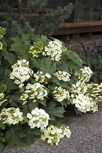 Hydrangea Munchkin Oakleaf - Clusters of white Panicles, which Open white and age to pink, remaining upright. Compact size.