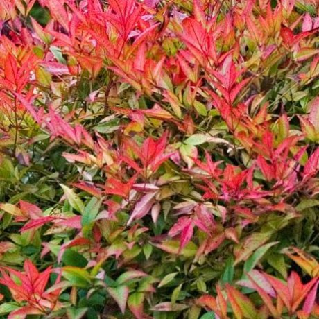 (3 Gallon) NANDINA FIREPOWER - Dwarf Evergreen That Has An Upright Crown Appearance. Very Colorful Lime Green Foliage Tinged with Orange and Red In Summer, Turning Fully Red In Fall/Winter.