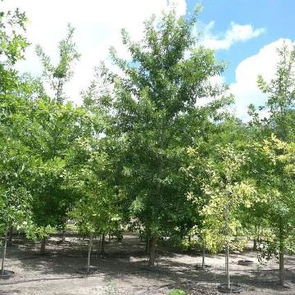 (1 Gallon) Nuttall Oak- This beautiful oak tree grows at a fast rate. It is great for landscape use; grows quickly, develops a good branching structure, tolerates wet soil as well as moderate drought