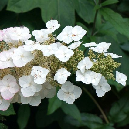 Sikes Dwarf Oakleaf Hydrangea-Gorgeous dwarf mounded oakleaf that matures to only 3-4' tall and to 3-4' wide