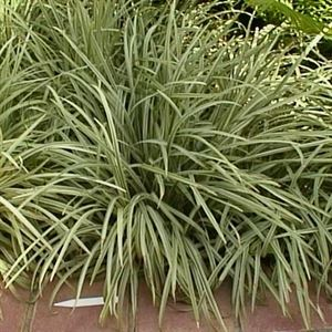 "18 count flat 4"" pots Ophiopogon japonicus Silver Mist Variegated Mondo Grass. (GROUND COVER), Deep green with silver variegation, thin foliage"