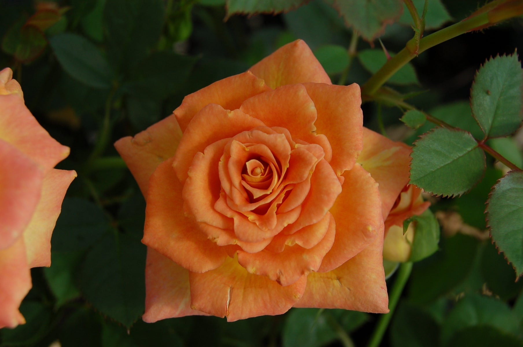 (1 Gallon) SUNROSA Orange Delight- Beautiful, compact and bushy sun rose. Very low maintenance with high disease resistance. This plant is ideal for ideal for small to medium landscape spaces and patios._Reserve_Now