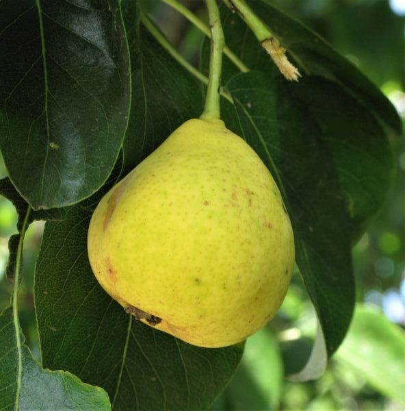 (5 Gallon) ORIENT PEAR tree, Fruit are large in size, have yellow skin with smooth textured, sweet, firm, juicy, white flesh.,