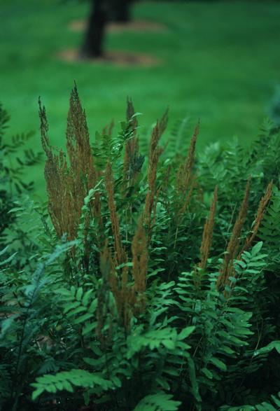 "(12 plants classic pint)   Osmunda regalis ""Royal Fern""  a bright fern for the shade garden, woodland areas, stream and pond banks. Green, erect fronds have large leaflets, different from other more lace-like ferns. - Set of 12 plants shipped in Classic P"