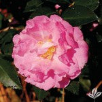 (1 gallon) Camellia OUR LINDA large light rose pink blooms(FALL/WINTER BLOOMING)