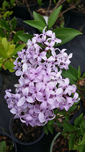 Palibin Lilac : Dense, compact, low-spreading deciduous shrubs. Excellent for dwarf hedge, or used as a specimen.