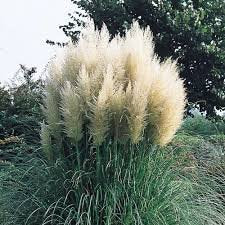 Pampas Grass (White), Graceful White Plumes On Wispy Green Grass. Elegant In Any Landscape._Reserve_Now