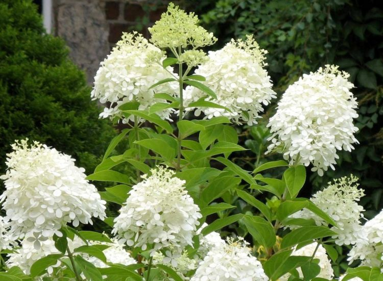 Hydrangea 'Grandiflora' aka PG hydrangea- is a deciduous shrub that produces beautiful White blooms, that ages to pink.