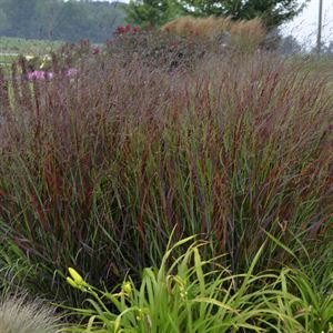 1 Gallon Pot: Grass: Panicum virgatum 'Cheyenne Sky' PP23209 Switch Grass Proven Winners®. This petite red switch grass forms an upright clump of blue green leaves that turn wine red in early summer. A Proven Winners® plant.