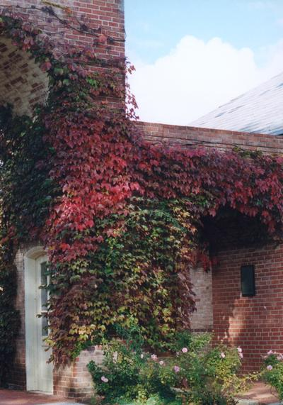 Parthenocissus tricuspidata Boston Ivy is a deciduous, creeping vine. Foliage is an outstanding deep red in the Fall. Birds are attracted to the blackish blue berries.