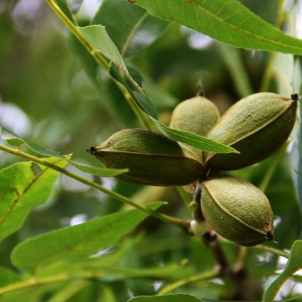 PAWNEE PECAN Trees produce a large nut that has a medium soft papershell.