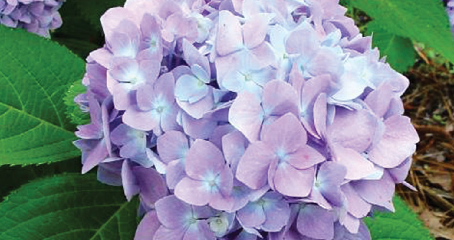 Penny Mac Hydrangea -Reblooming, blooms all summer, cold hardy to-20F, named a Louisiana Super Plant selection for spring 2012, PIXIES_DUD