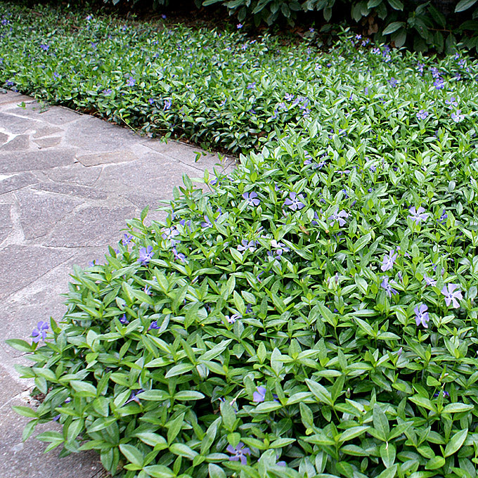"(10 Count Flat-4"" Pots)Vinca minor 'Bowlesii -This selection forms a dense mat of glossy dark green leaves, studded with bright-blue flowers in spring."